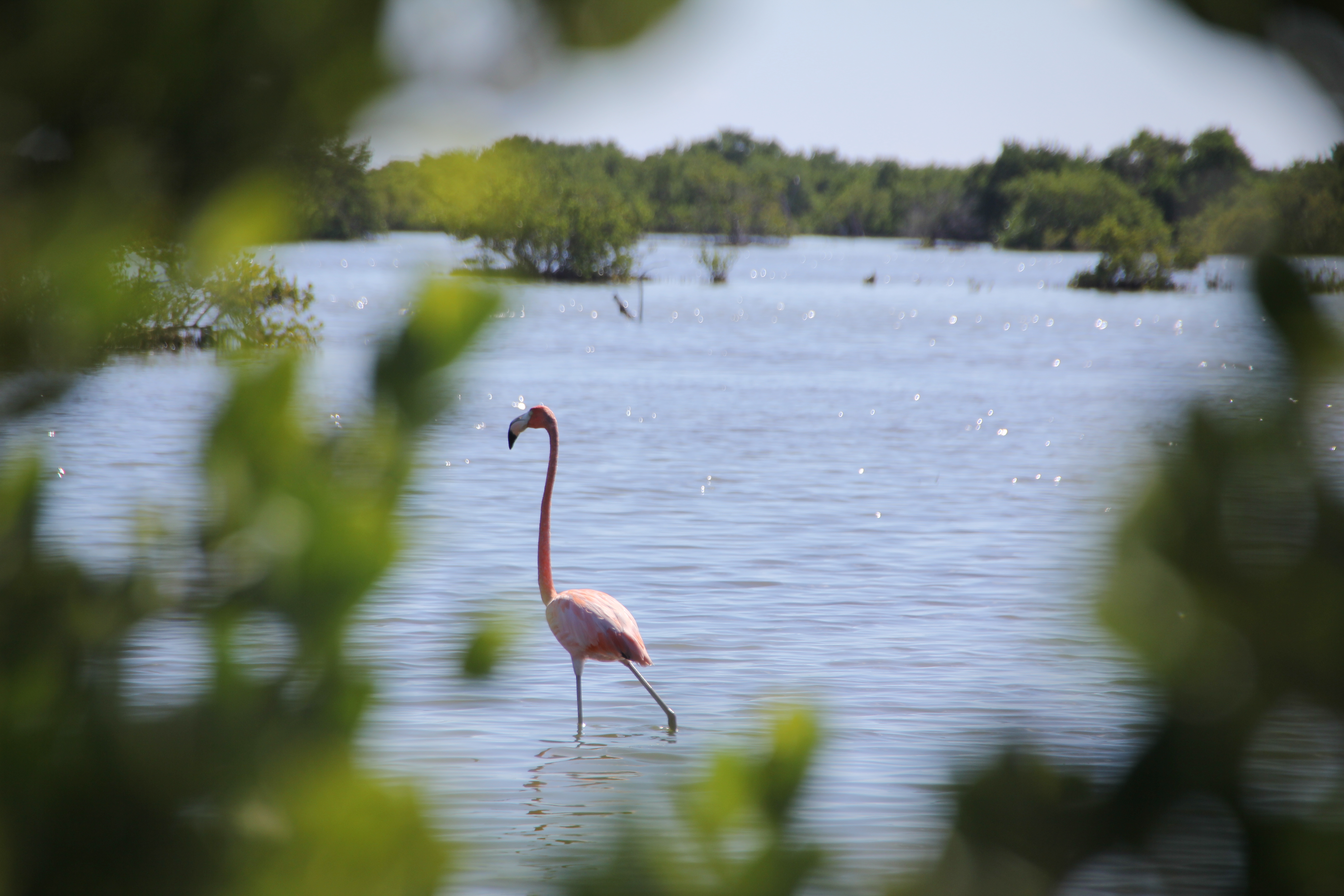 Flamant rose à Cuba
